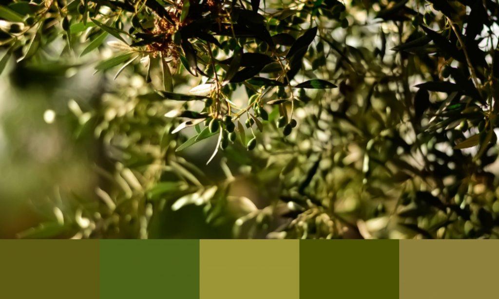 árbol olivo de jaén